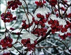 Изображение Зимняя рябина