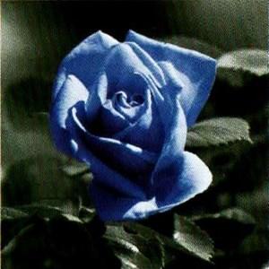 Изображение Волшебная роза