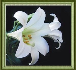 Изображение Белая лилия