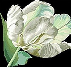 Изображение Белый тюльпан