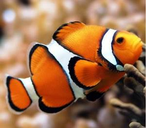 Изображение Рыба клоун