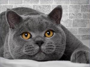 Изображение Британский кот