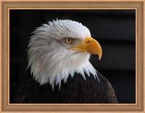 Изображение Белоголовый орлан