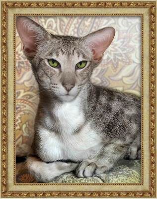 Изображение Ориентальный кот