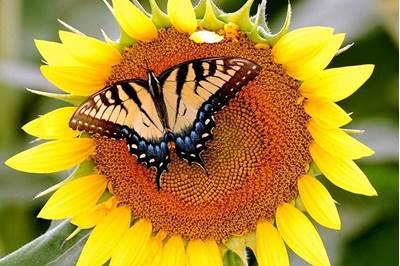 Изображение Бабочка на подсолнухе