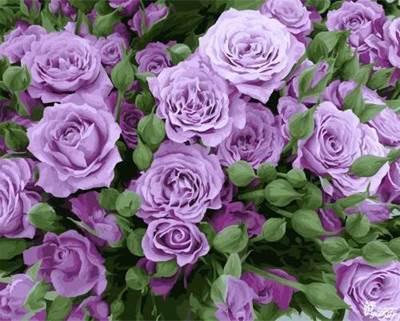 Изображение Кустовые розы